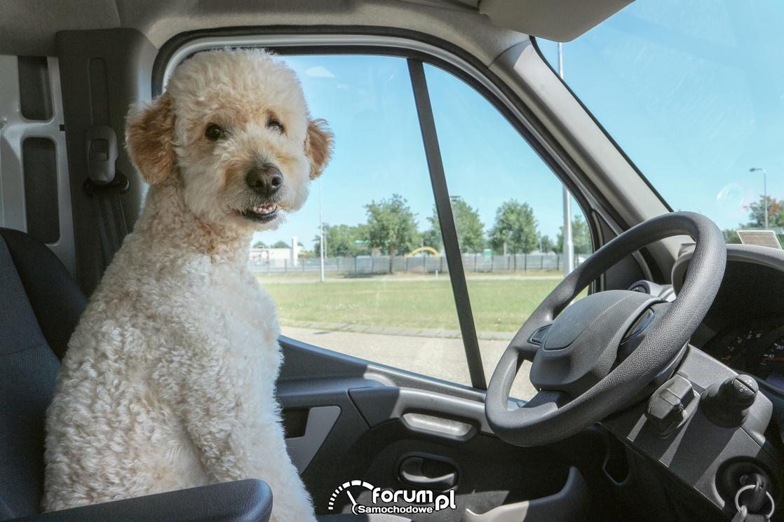 Pies za kierownicą