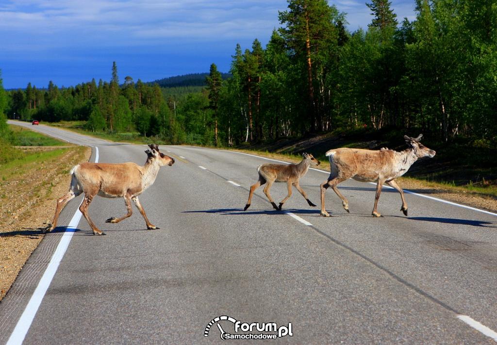 Niespodziewany gość na drodze! Uważajmy na dzikie zwierzęta